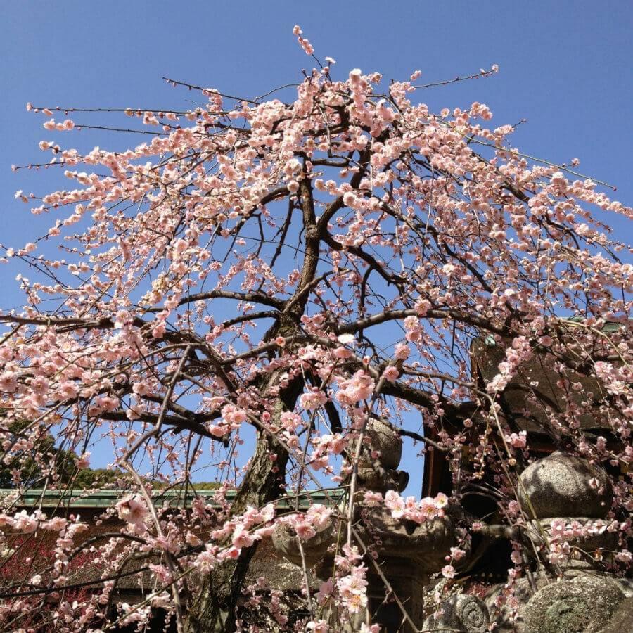 京都天滿宮梅花祭